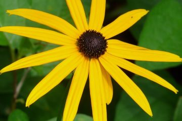 Yellow flower from the sunflower family